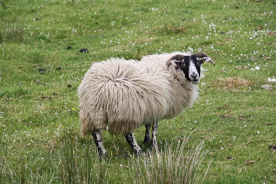 Mouton écossais à tête noire et pattes tachetées