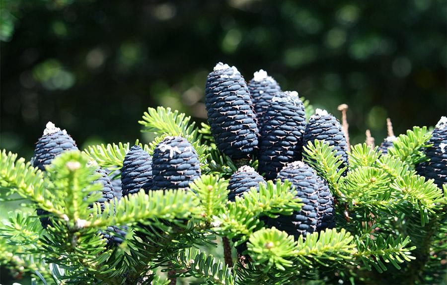 Pommes de Pins bleues dans le jardin du Dunvegan Castle